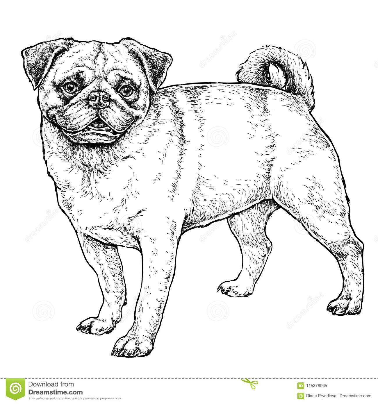 Hand Drawn Sketch Of Cute Funny Pug Dog Vector Illustration Stock
