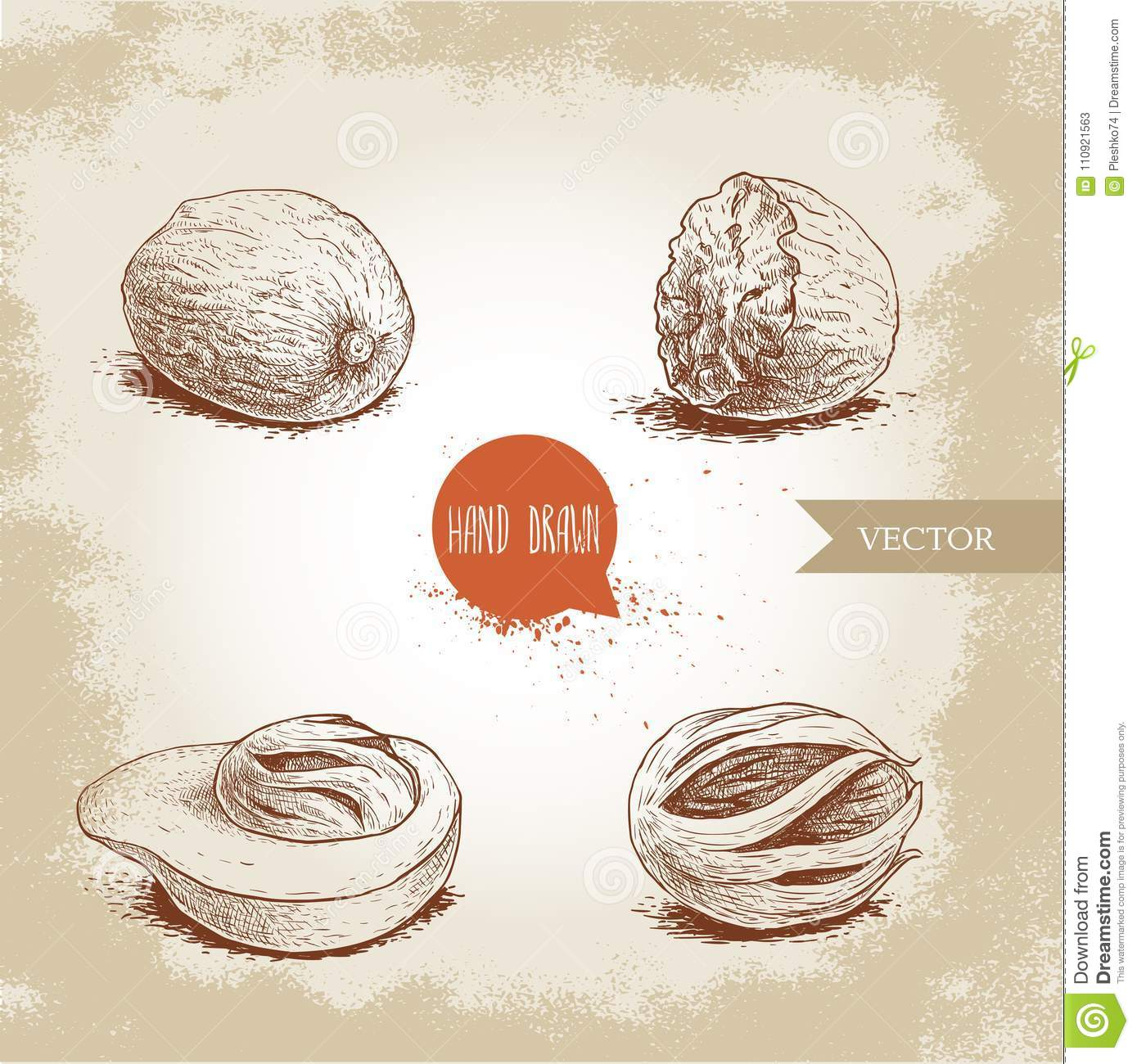 Hand drawn sketch style nutmegs set. Dried seeds and fresh mace fruits.