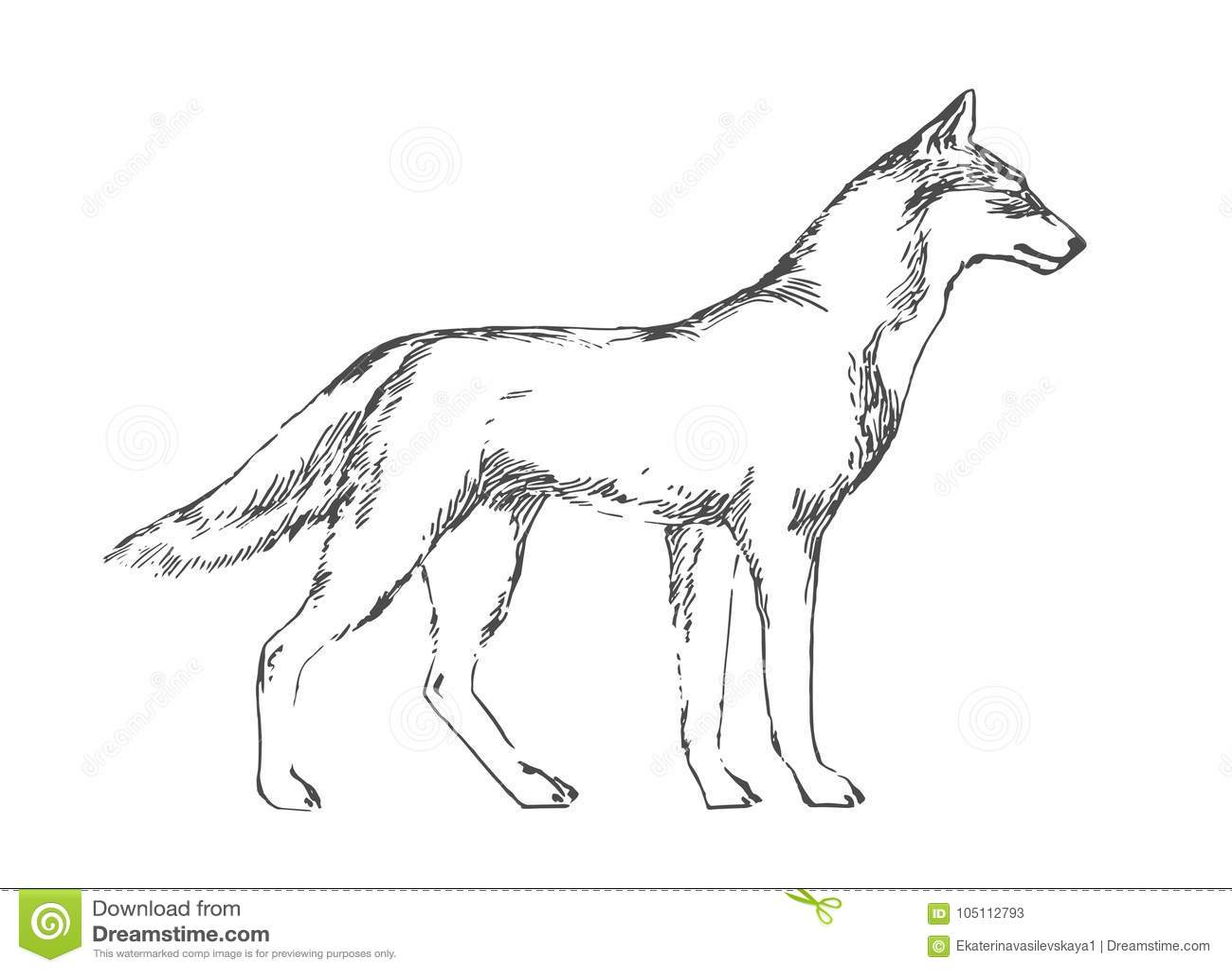 Hand drawn wolf black vector forest predator image on white background sketch style illustration