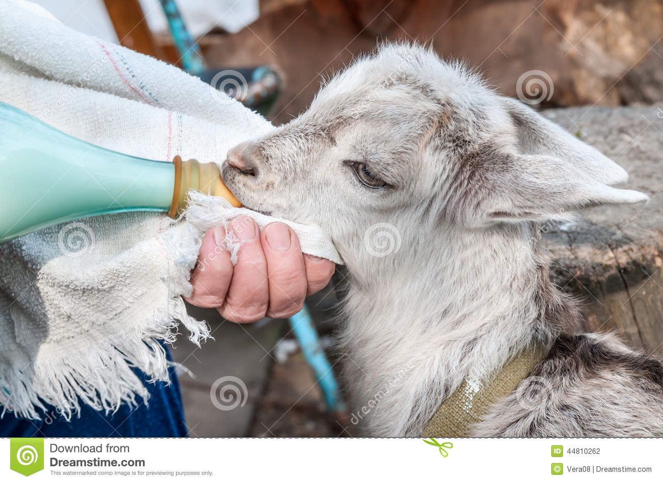Little Boy Feeds A Goat Royalty Free Stock Image