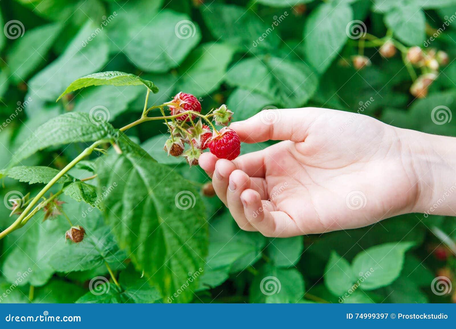 Hand gather red ripe raspberries on a bush