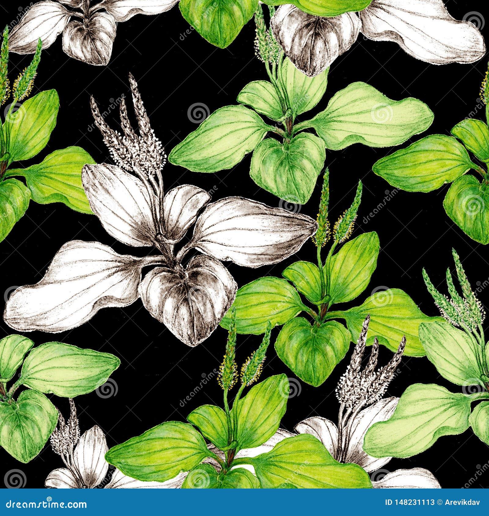 Hand getrokken botanisch naadloos patroon van weegbreeinstallatie