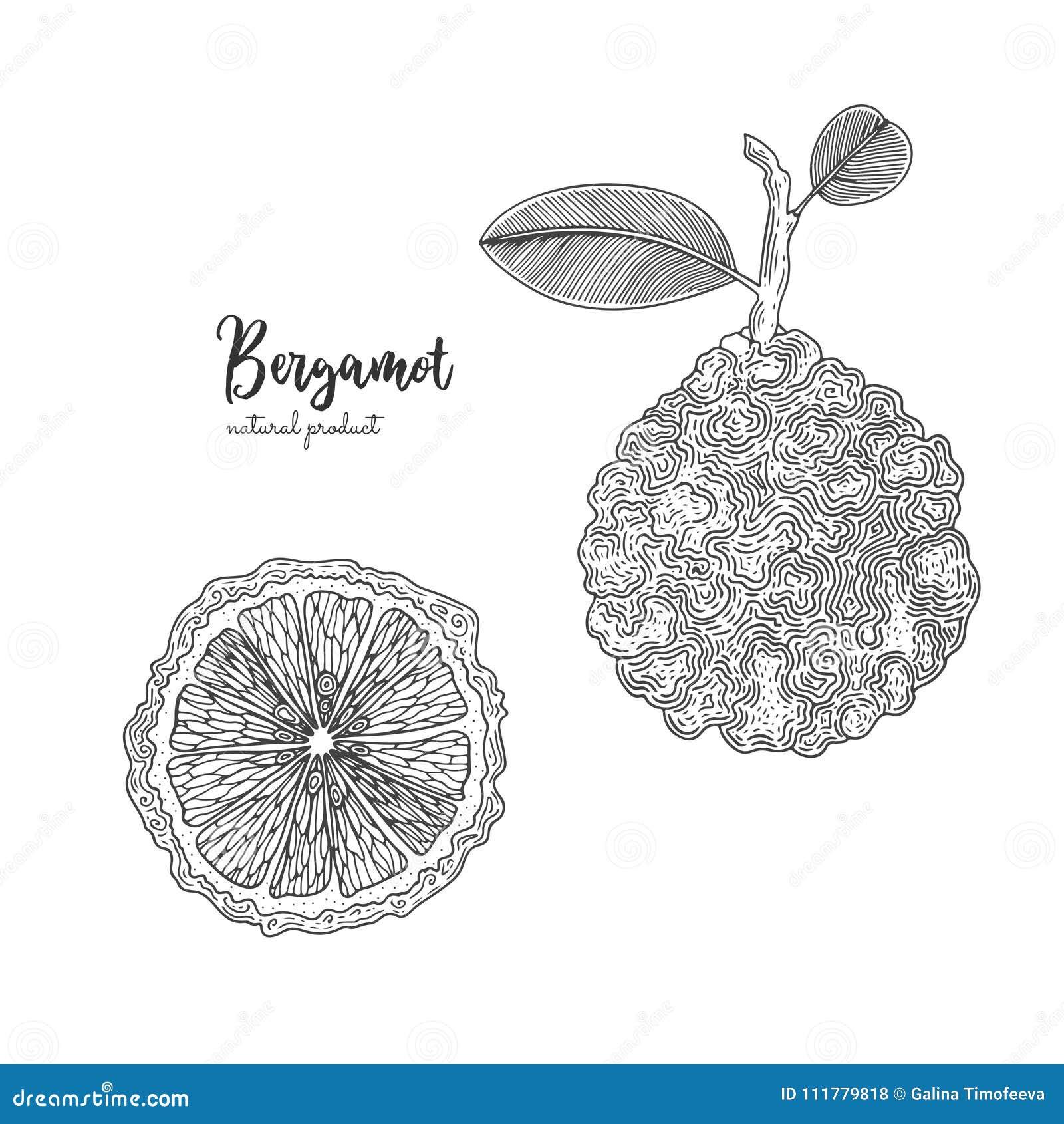 Hand getrokken die illustraties van bergamot op witte achtergrond worden geïsoleerd Hand getrokken elementen voor menu, bevorderi