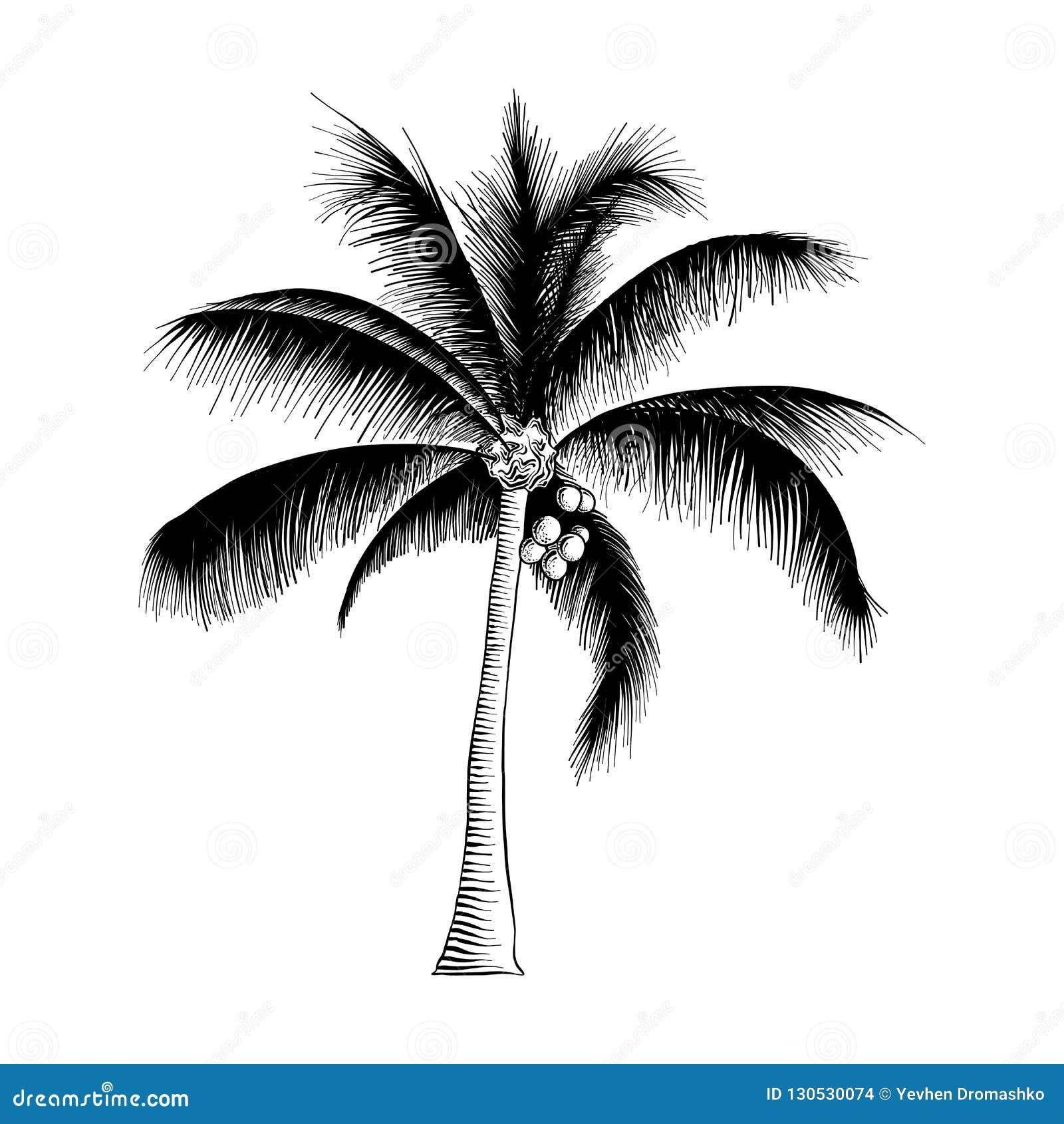Hand getrokken die schets van palm in zwarte op witte achtergrond wordt geïsoleerd De gedetailleerde uitstekende tekening van de