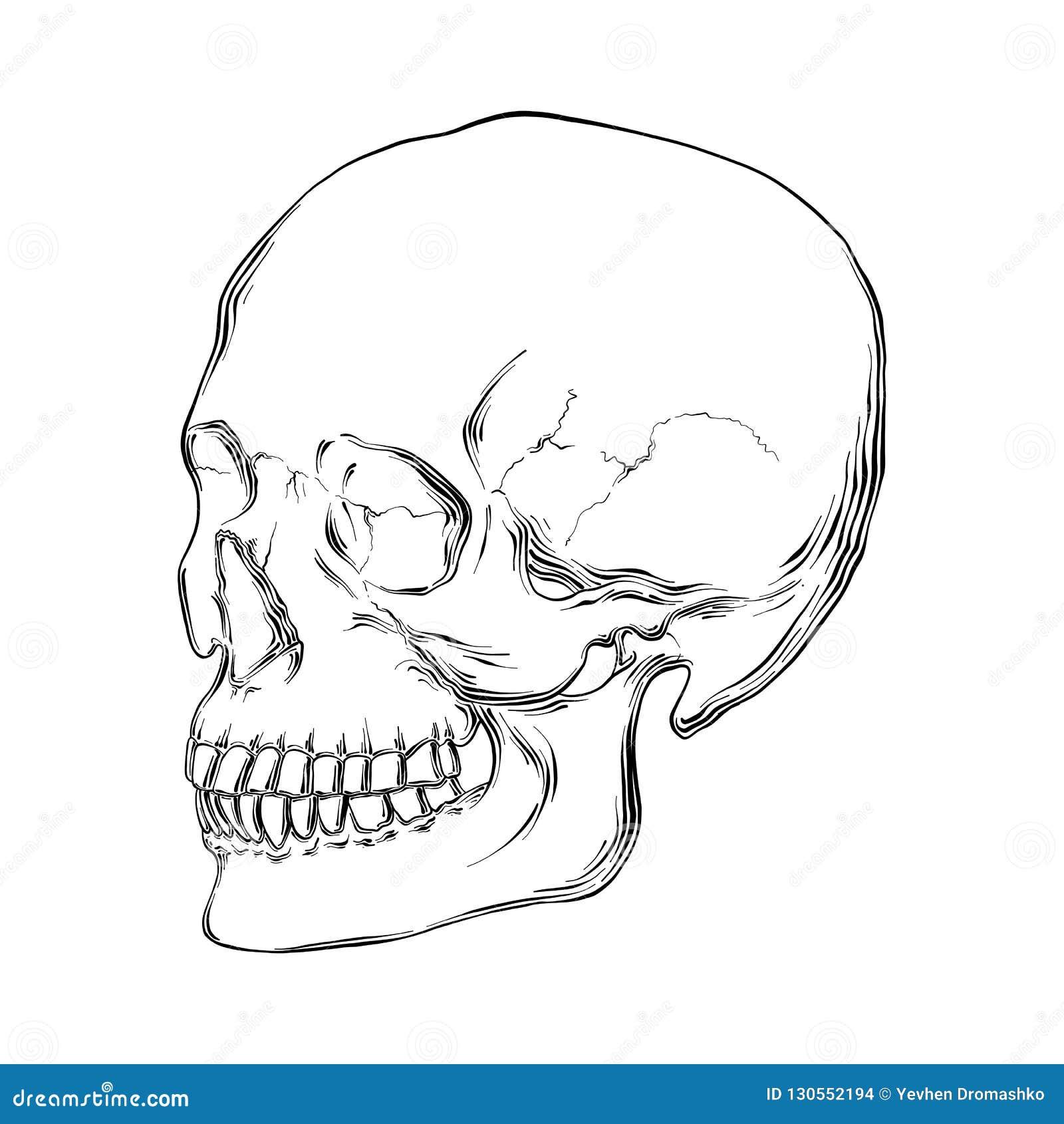 Hand getrokken schets van menselijke die schedel in zwarte op witte achtergrond wordt geïsoleerd De gedetailleerde uitstekende te