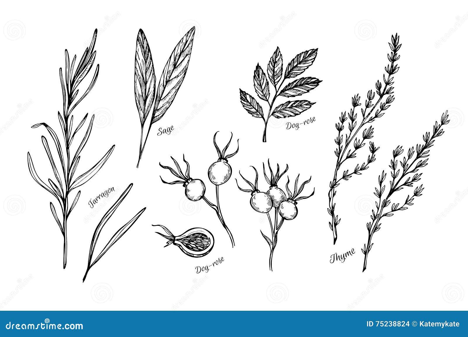 Hand getrokken uitstekende illustratie - kruiden en kruiden (salie, tarrag