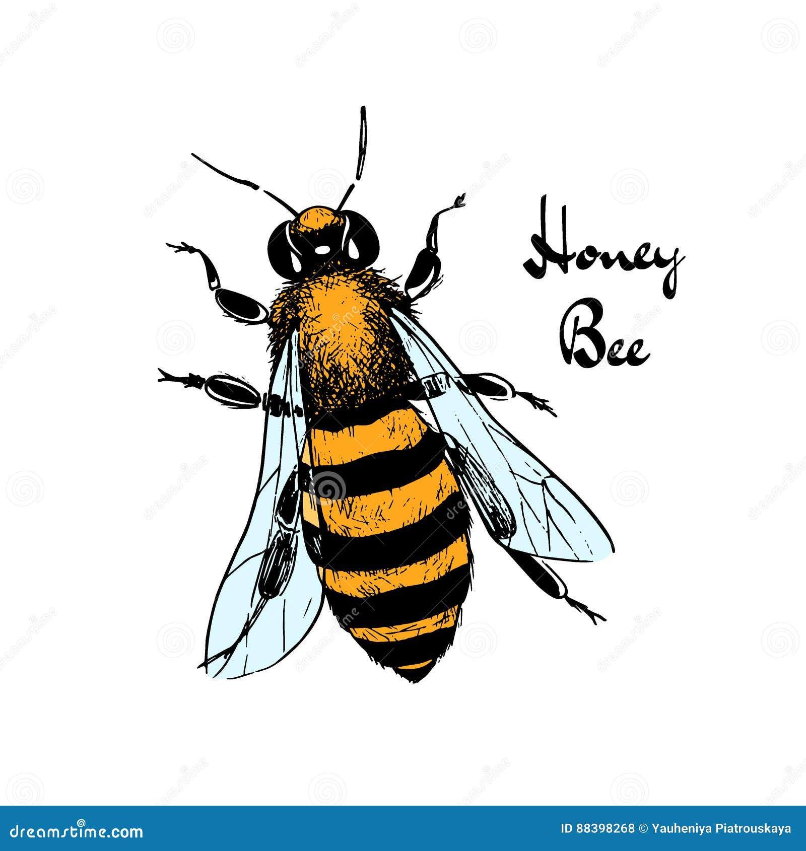 Groß Honigbiene Anatomie Fotos - Anatomie Ideen - finotti.info