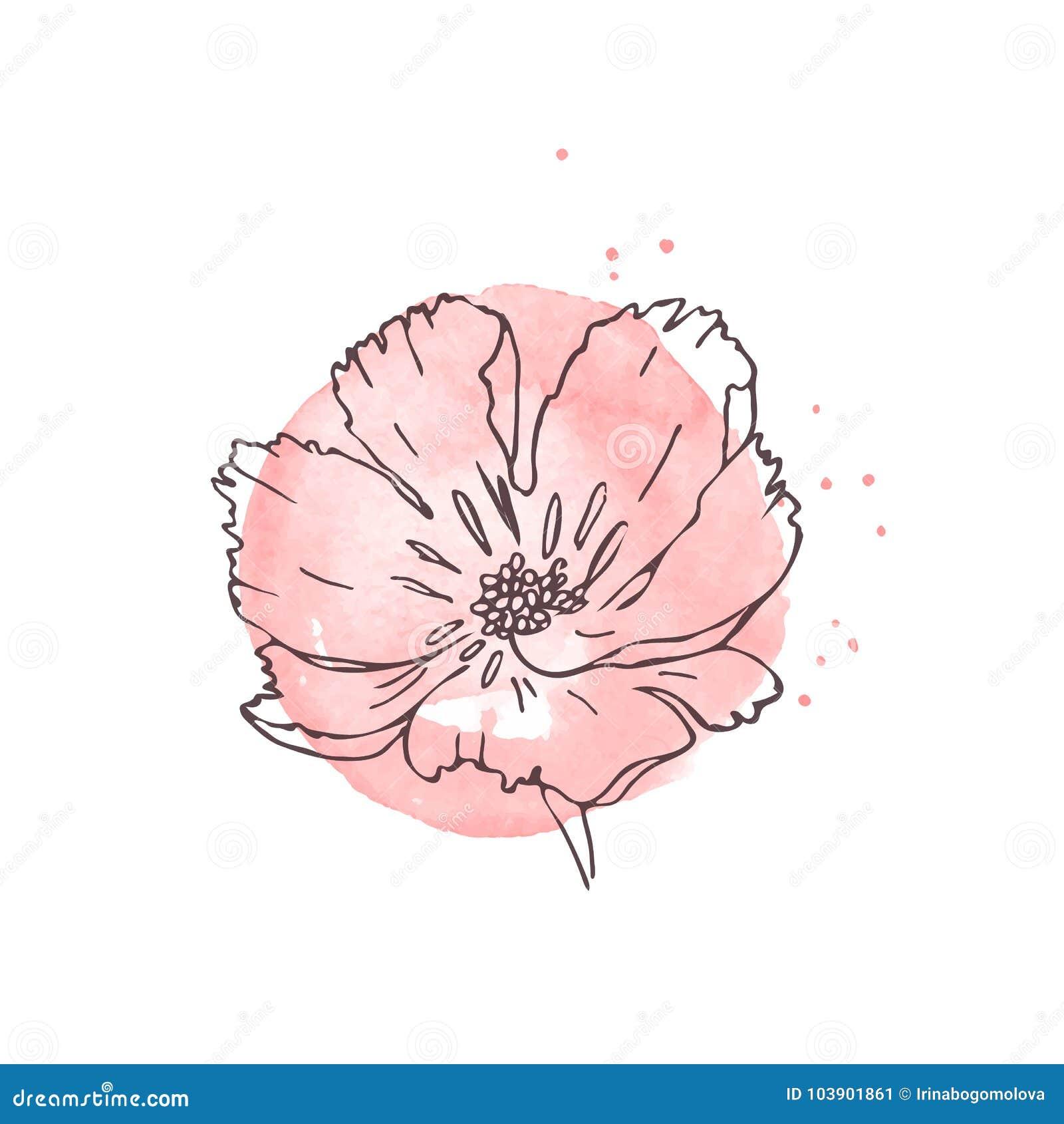Hand Gezeichnete Mohnblume Lokalisiert Vektor Abbildung Illustration Von Blume Botanisch 103901861