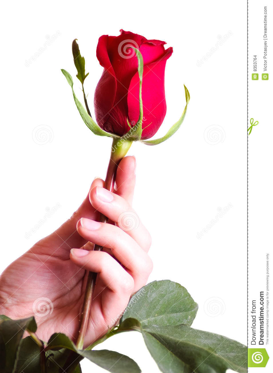 Hand holding beautiful red rose stock photos 4571 images izmirmasajfo