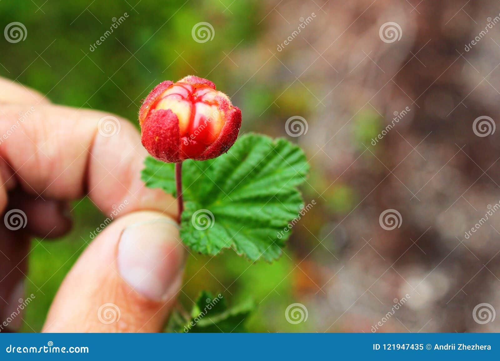 Hand holding a cloudberry Rubus chamaemorus