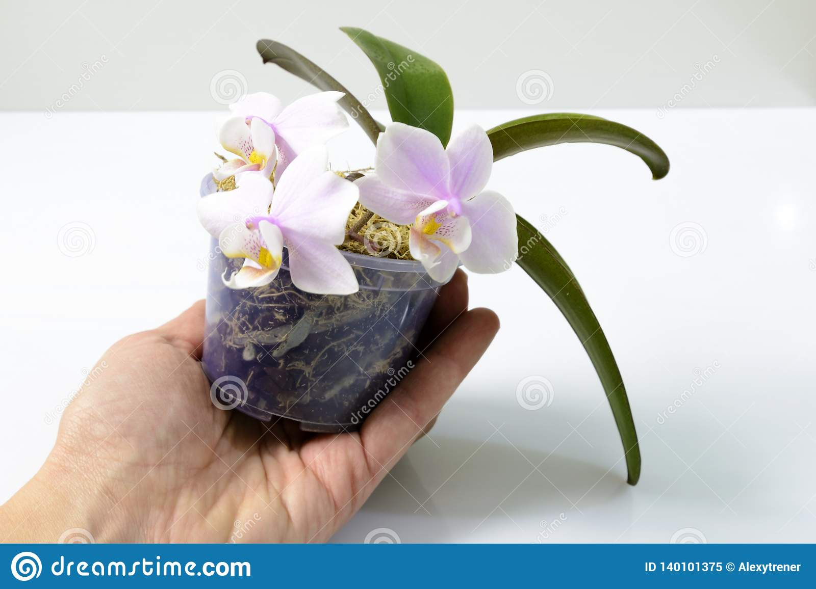 Hand Holding A Flower Pot With A Mini Orchid Stock Image Image