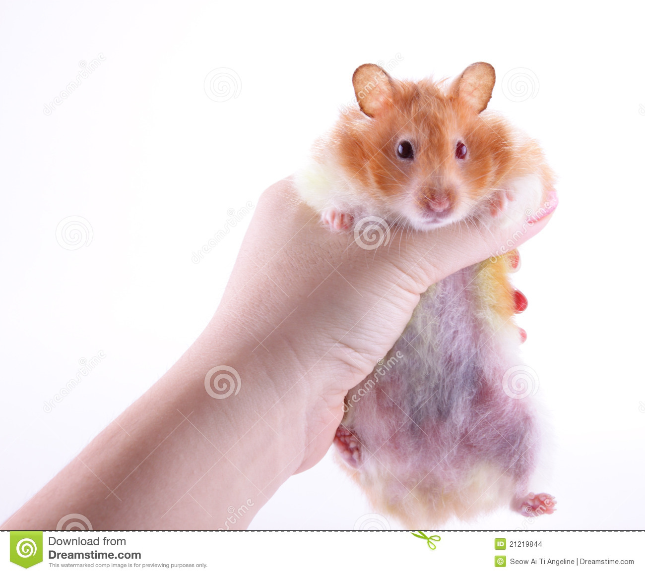 Hand Holding Hamster Stock Images Image