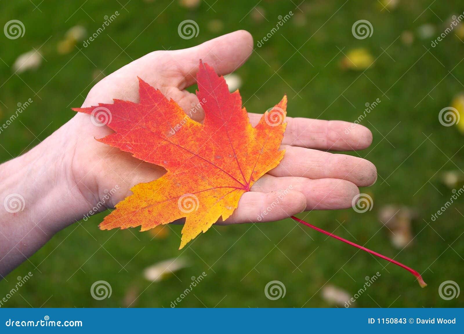Hand Holding Orange Maple Leaf Stock Image Image Of Leaf