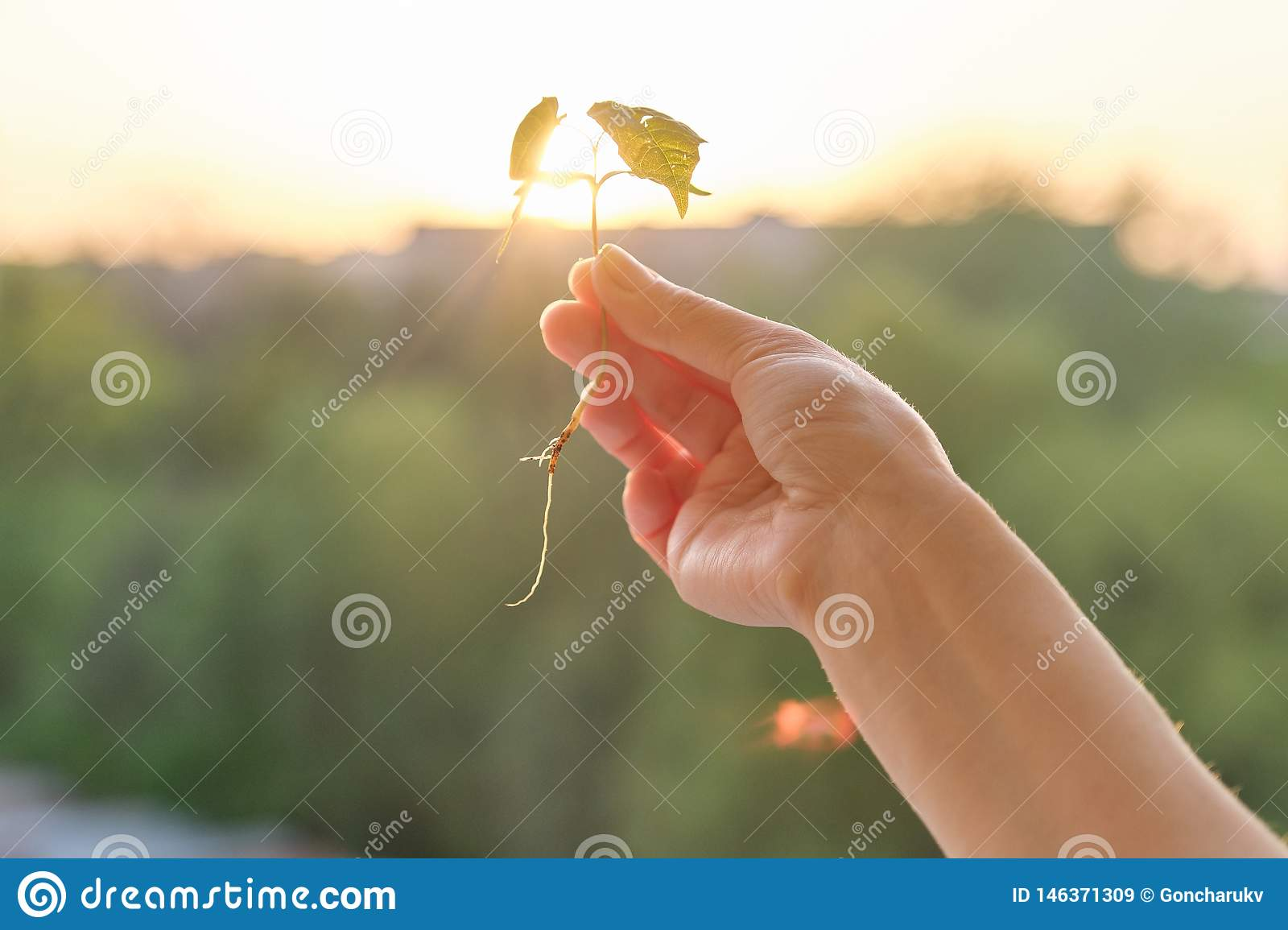 Hand holding sprout of small maple tree, conceptual photo background sunset golden hour