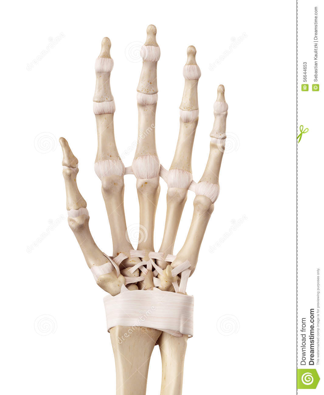 The Hand Ligaments Stock Illustration Illustration Of Healthy