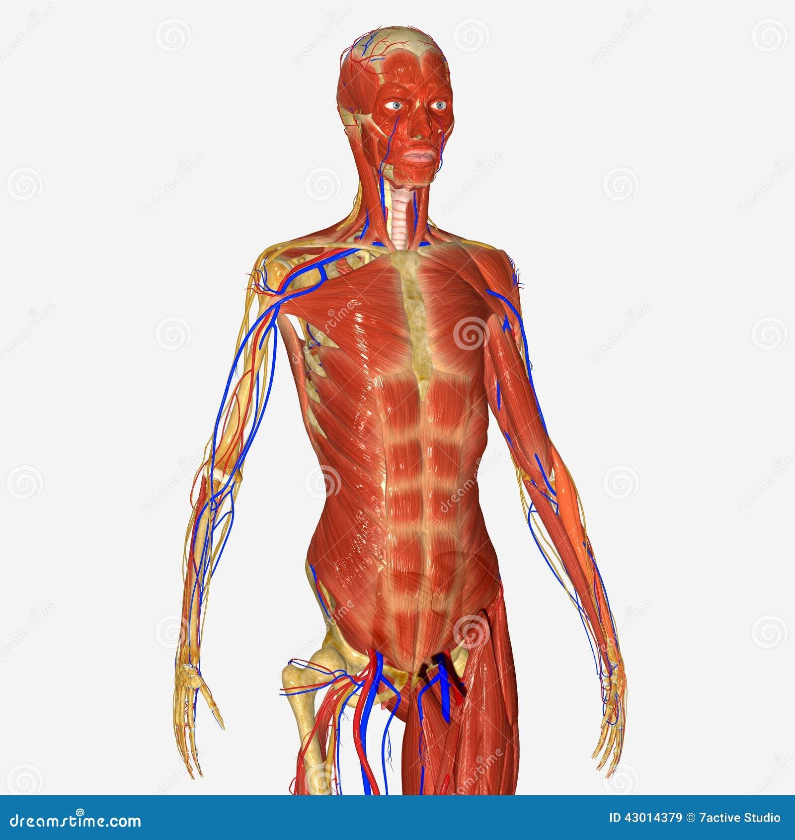 Hand Mit Dem Skelett Und Den Muskeln Stock Abbildung - Illustration ...