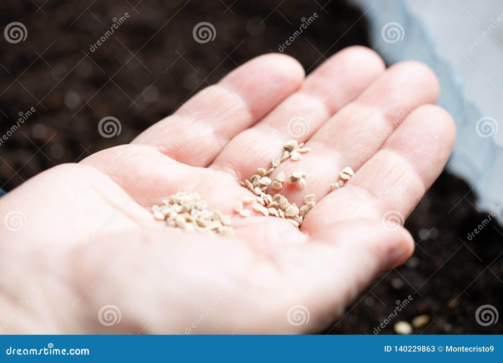 Hand mit Samen für das Pflanzen von Sämlingen Landwirtbetriebsgemüseanlagen Inländisches Leben