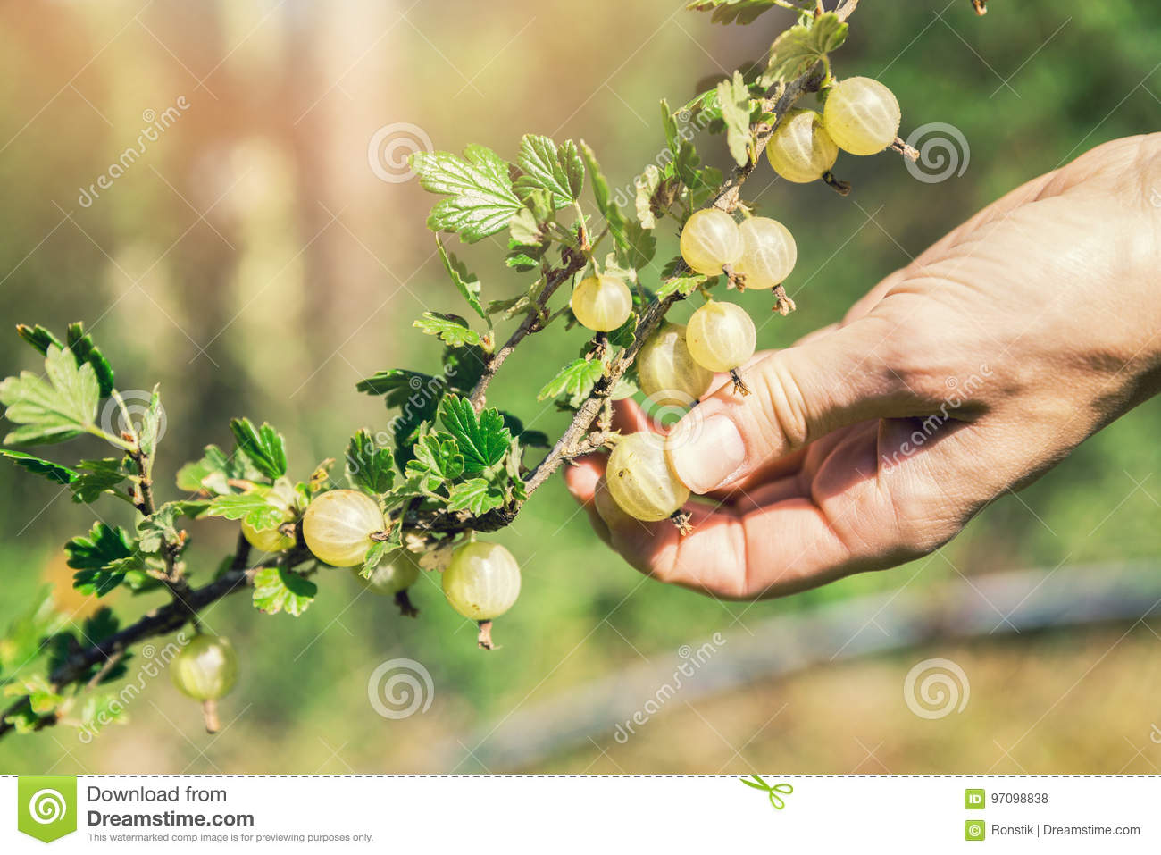 Hand picking ripe berries of gooseberry bush