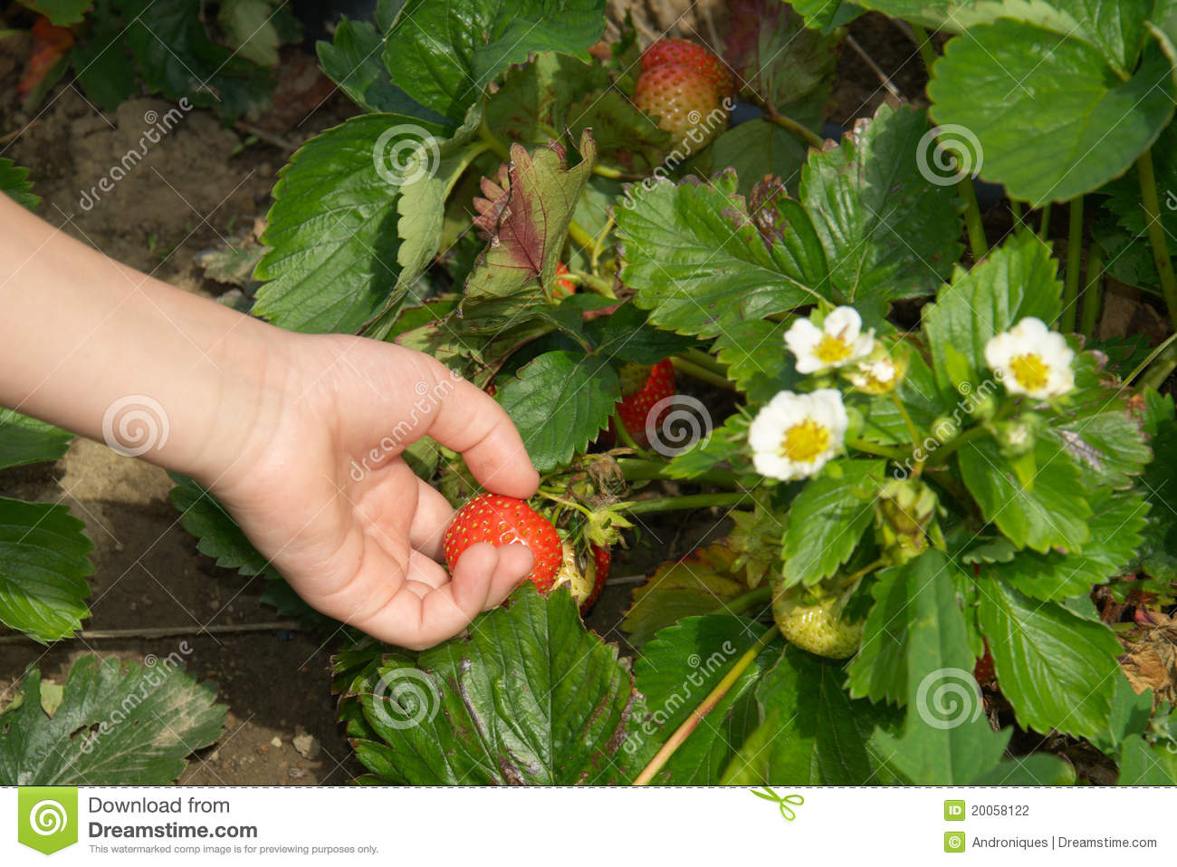 Hand Picking Up Strawberry On Garden Bed Stock Photo