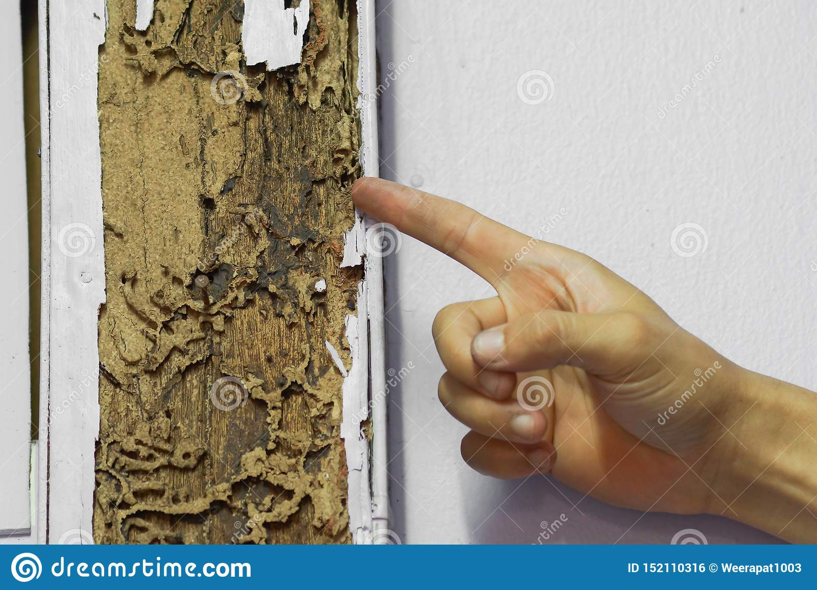 Hand Pointing At A Termite Nest On Wooden Pole Stock Photo Image Of Pole Home 152110316