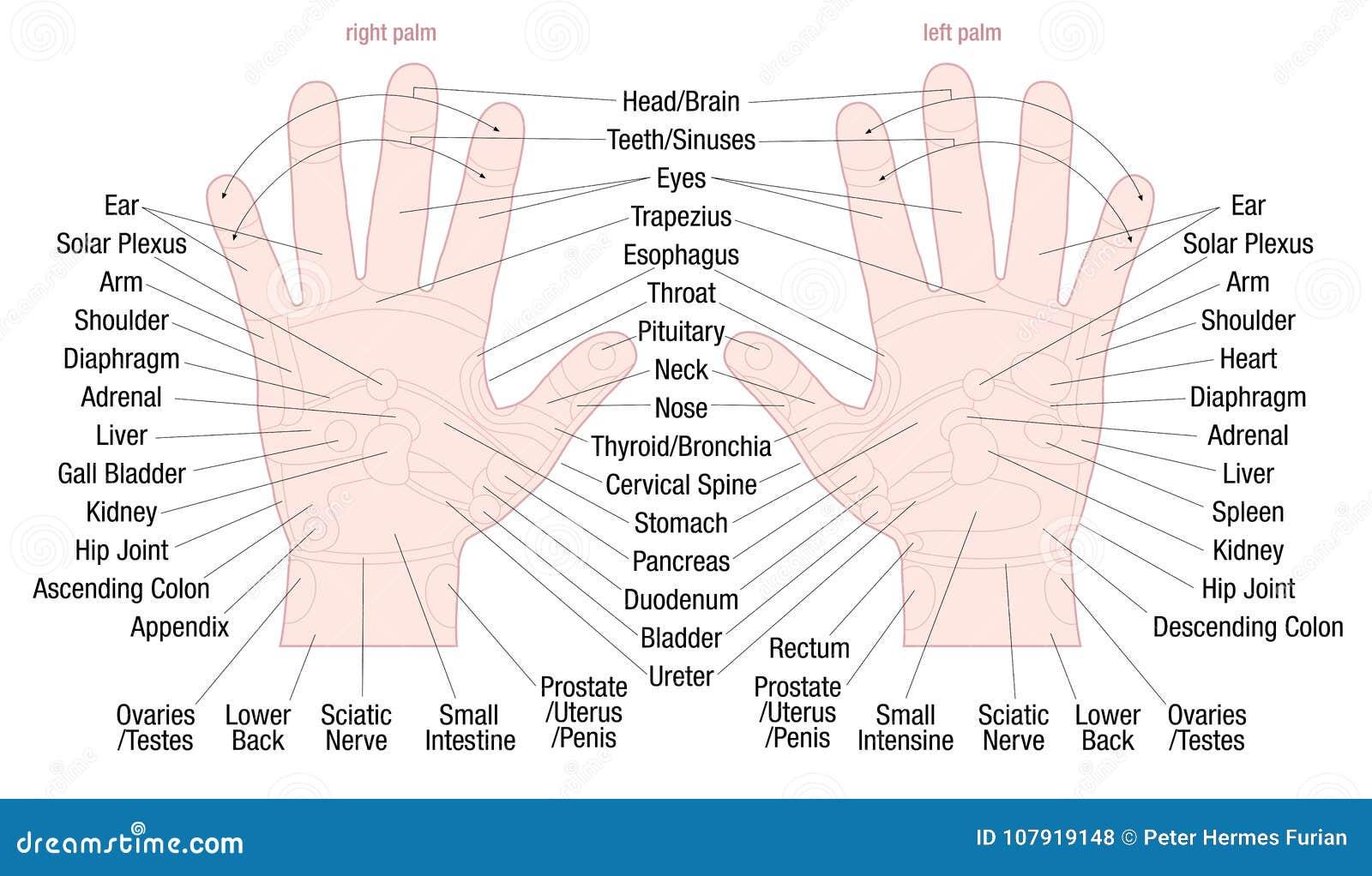 Hand Reflexology Zone Massage Areas Names Stock Vector