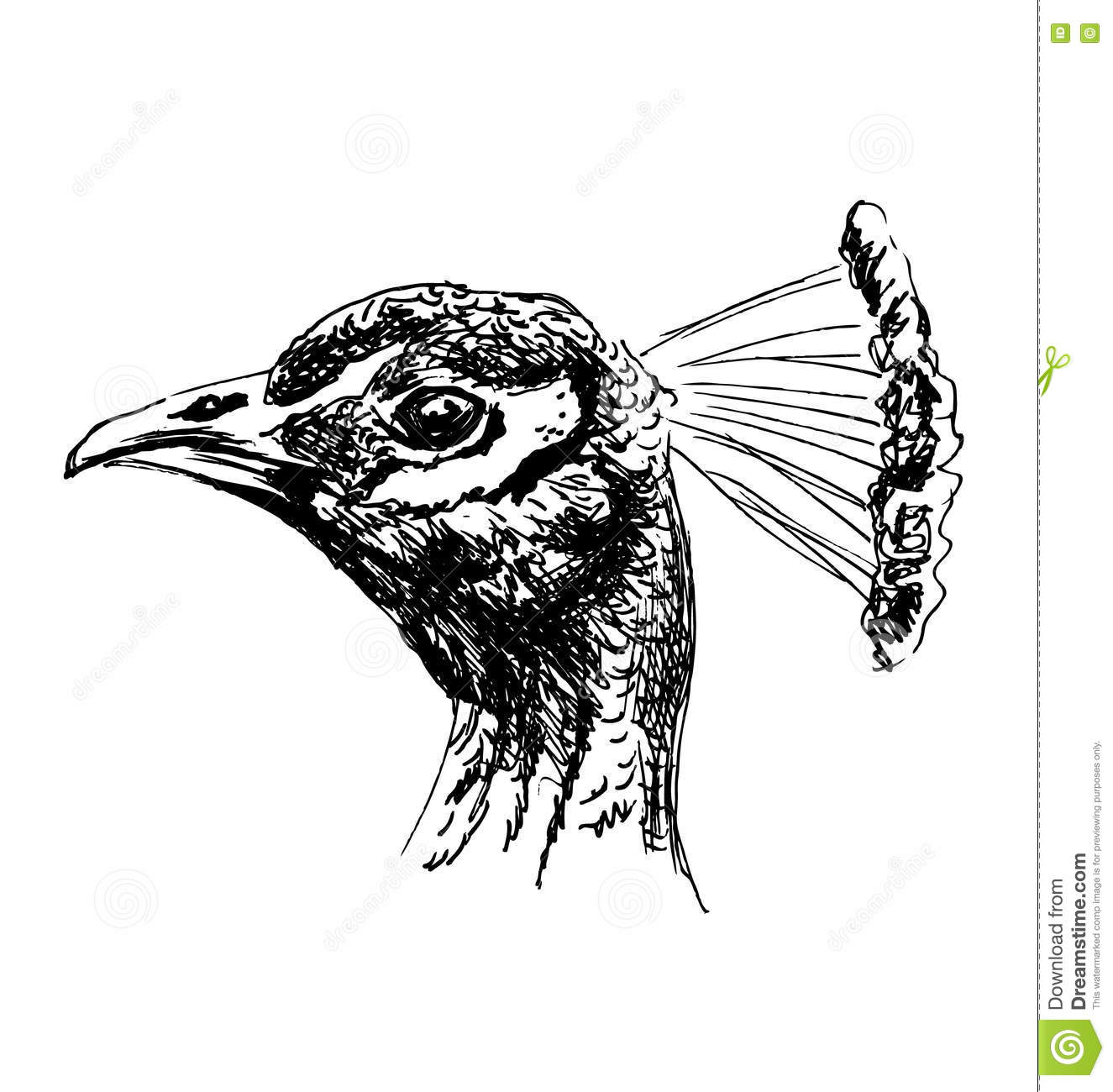 Hand sketch of the head of a peacock