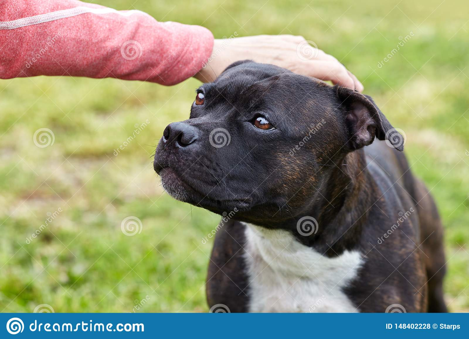 The hand stroking the dog head. Cute dog face looking for person with love and humility. Concept of adopting stray dogs.
