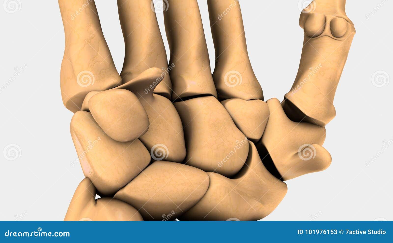 Fantastisch Was Sind Die Knochen Im Handgelenk Genannt Bilder ...