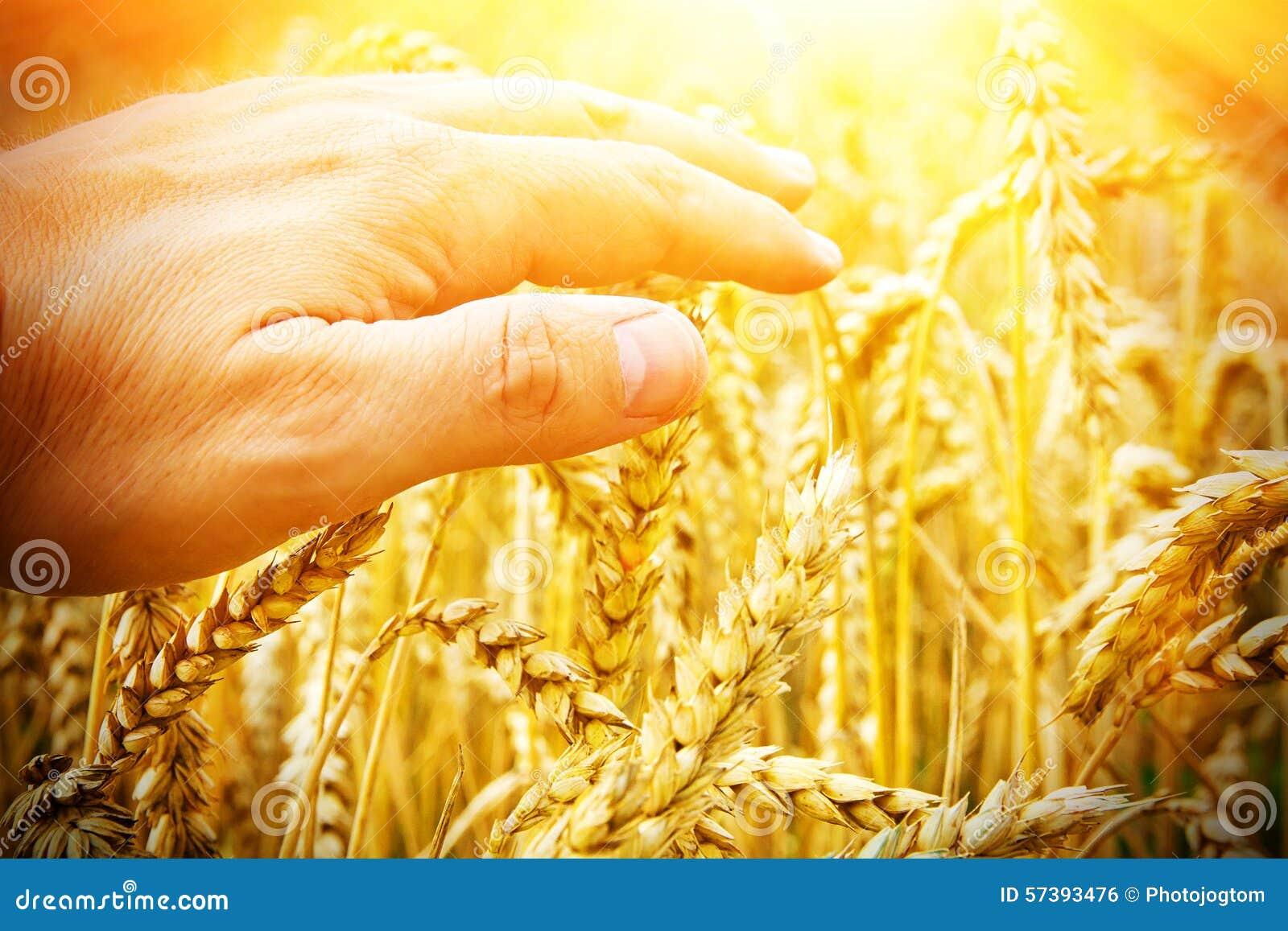 Hand van een landbouwer wat betreft tarwe in zonlicht