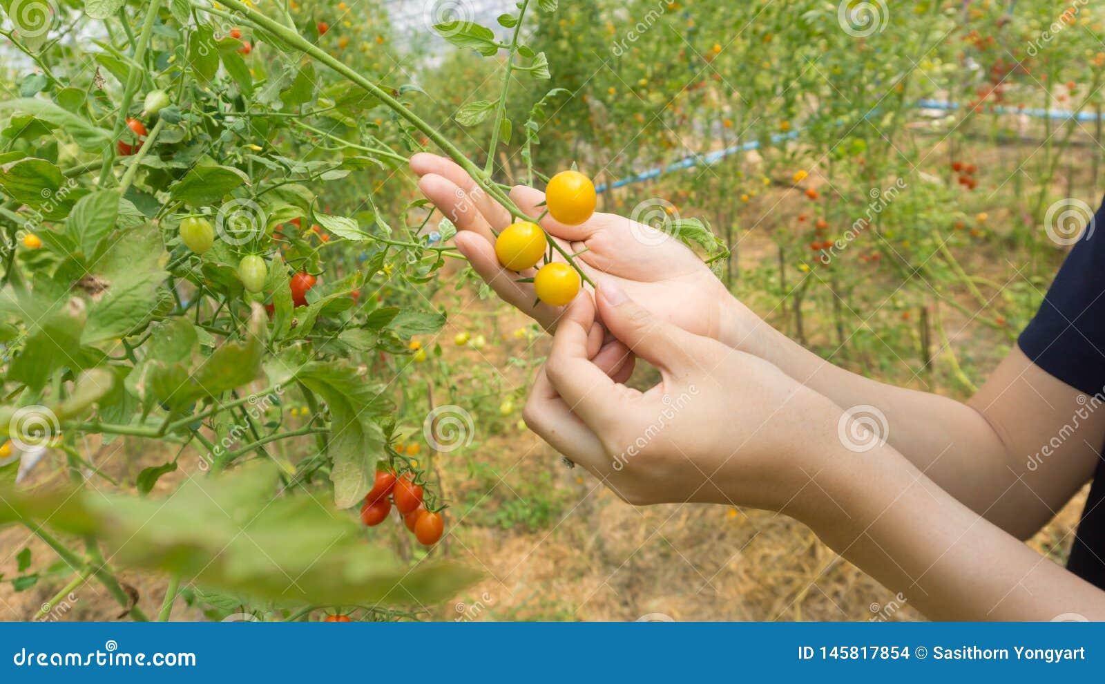 Hand van landbouwers die verse organische tomaten plukken