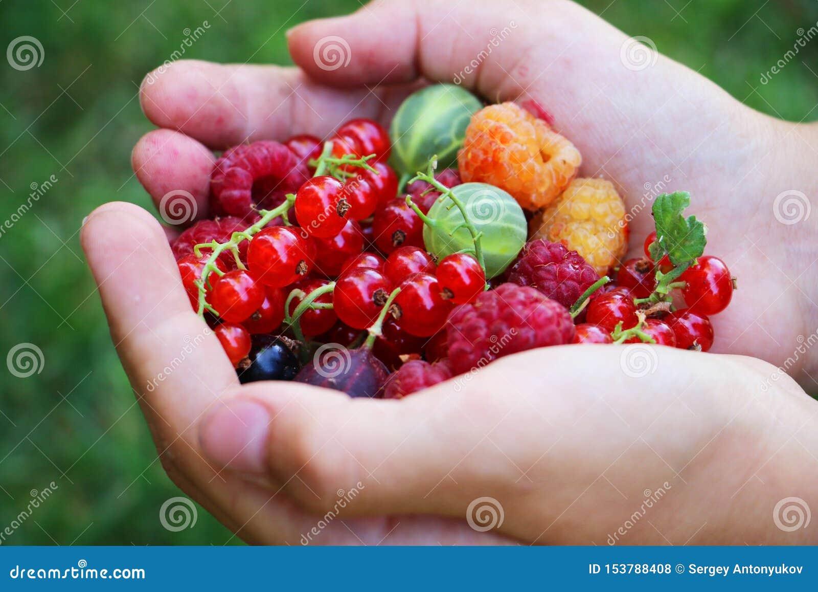 Handen die verse de zomermengeling van kleurrijke bessen houden