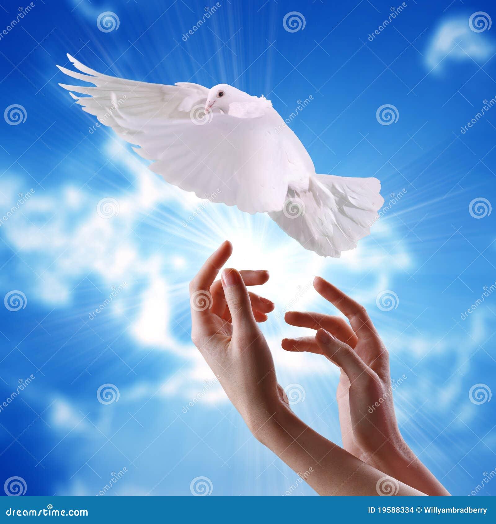 beautiful pigeon hd wallpaper