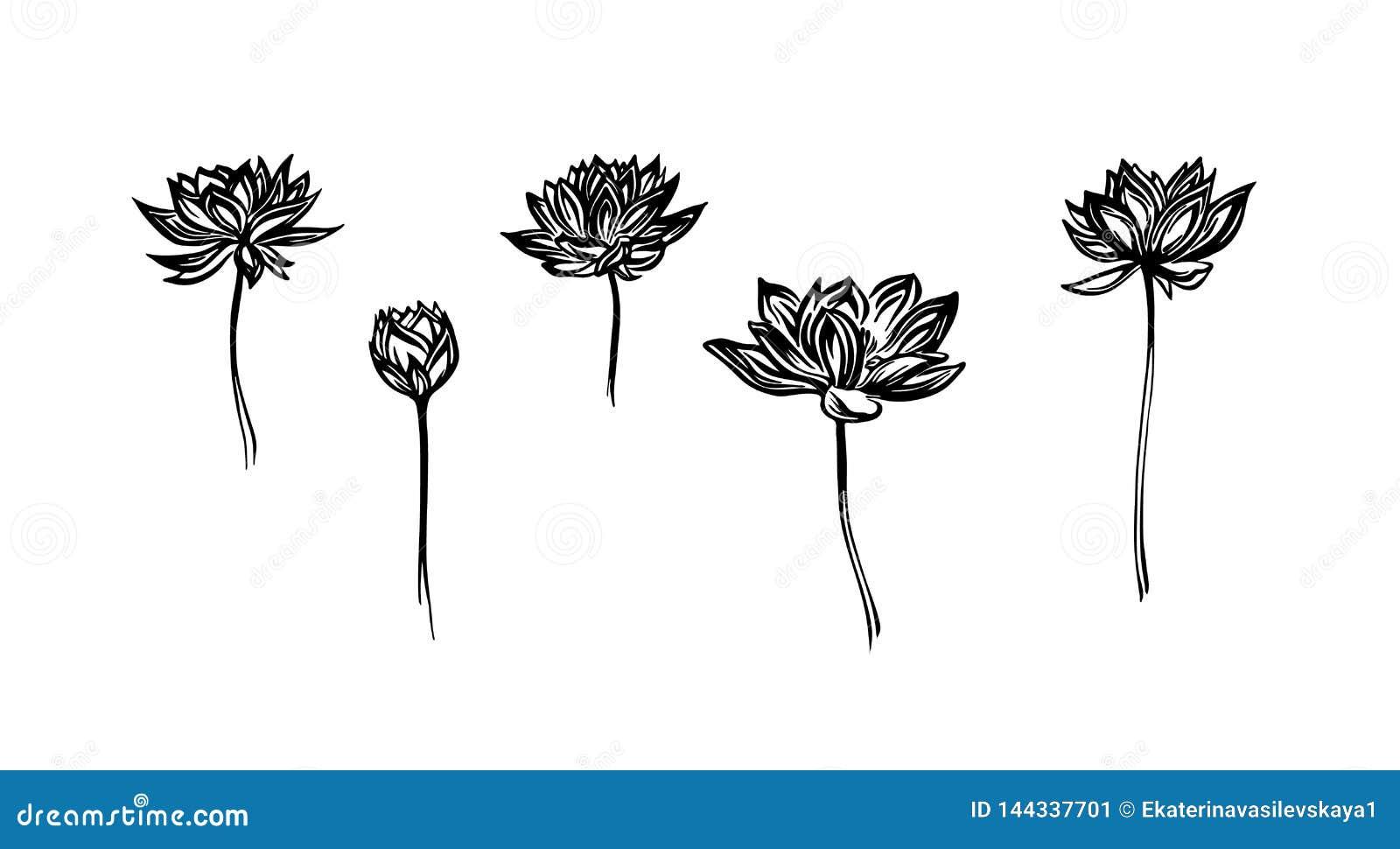 Handen drog uppsättningen för lotusblommablommor, översikt skissar Teckning för vektorsvartfärgpulver som isoleras på vit bakgrun