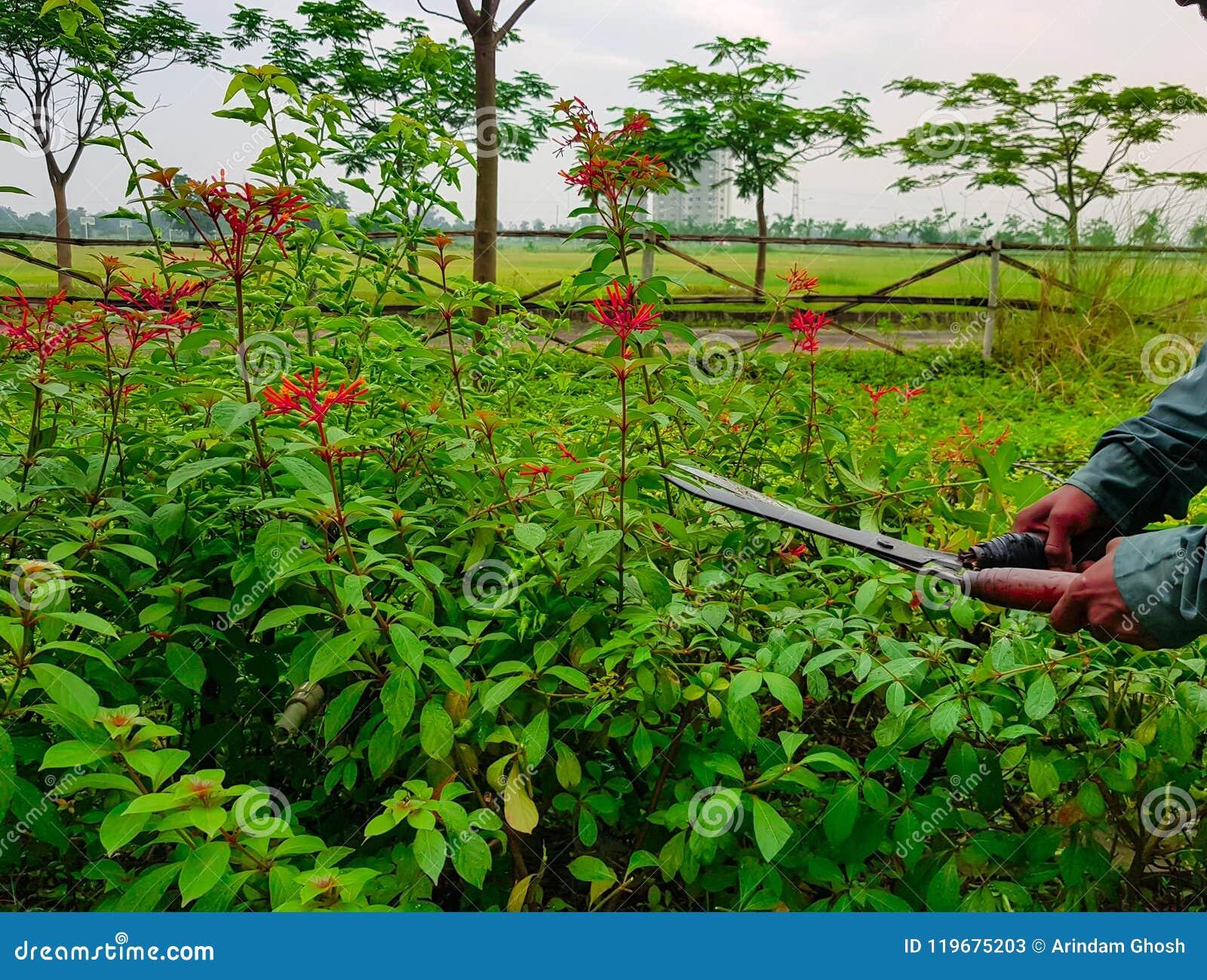 Handen het snoeien in orde makende groene struiken en rode bloemen snijden en gras die met het tuinieren schaar