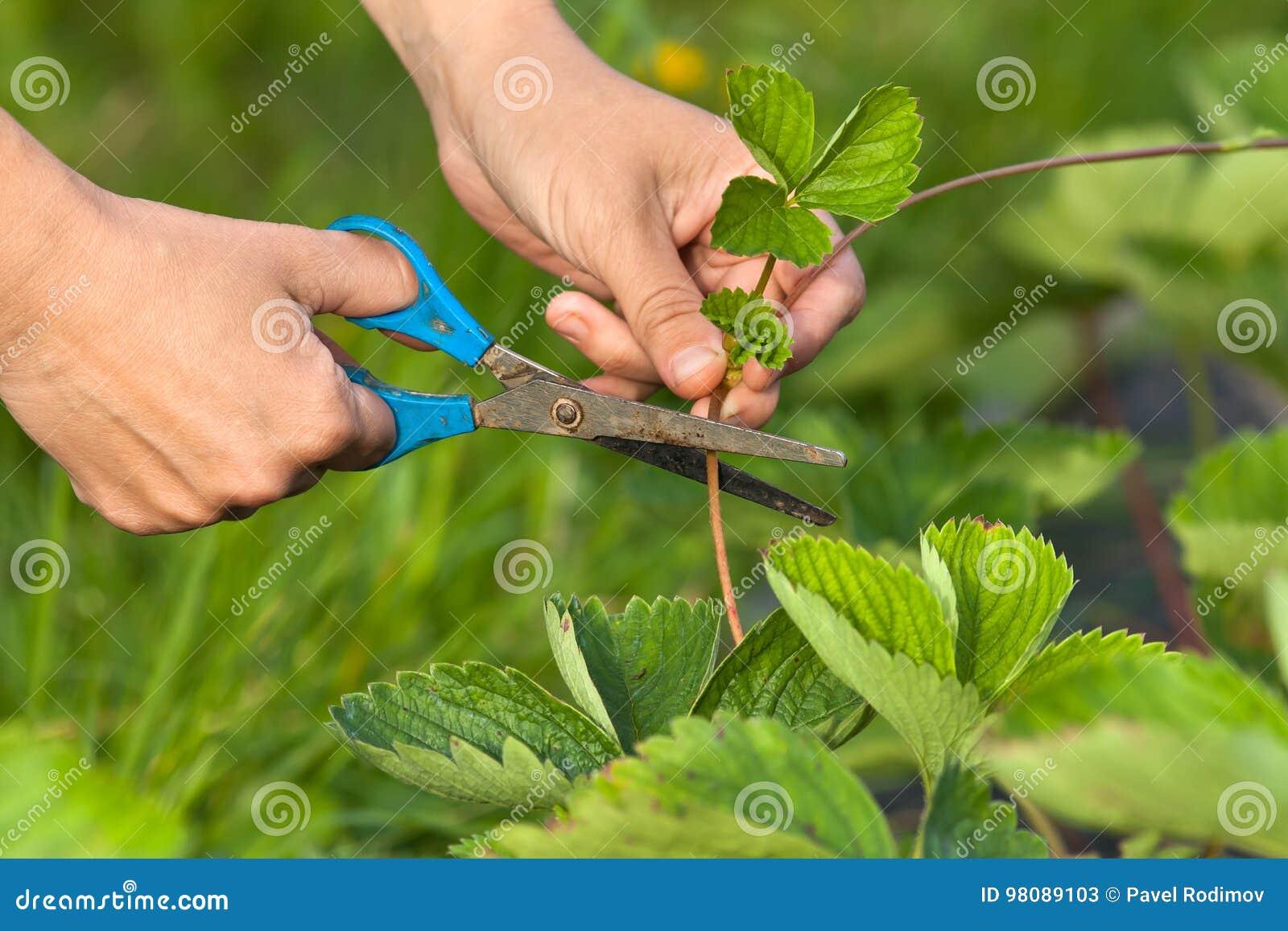 Handen van tuinman scherpe aardbei met schaar
