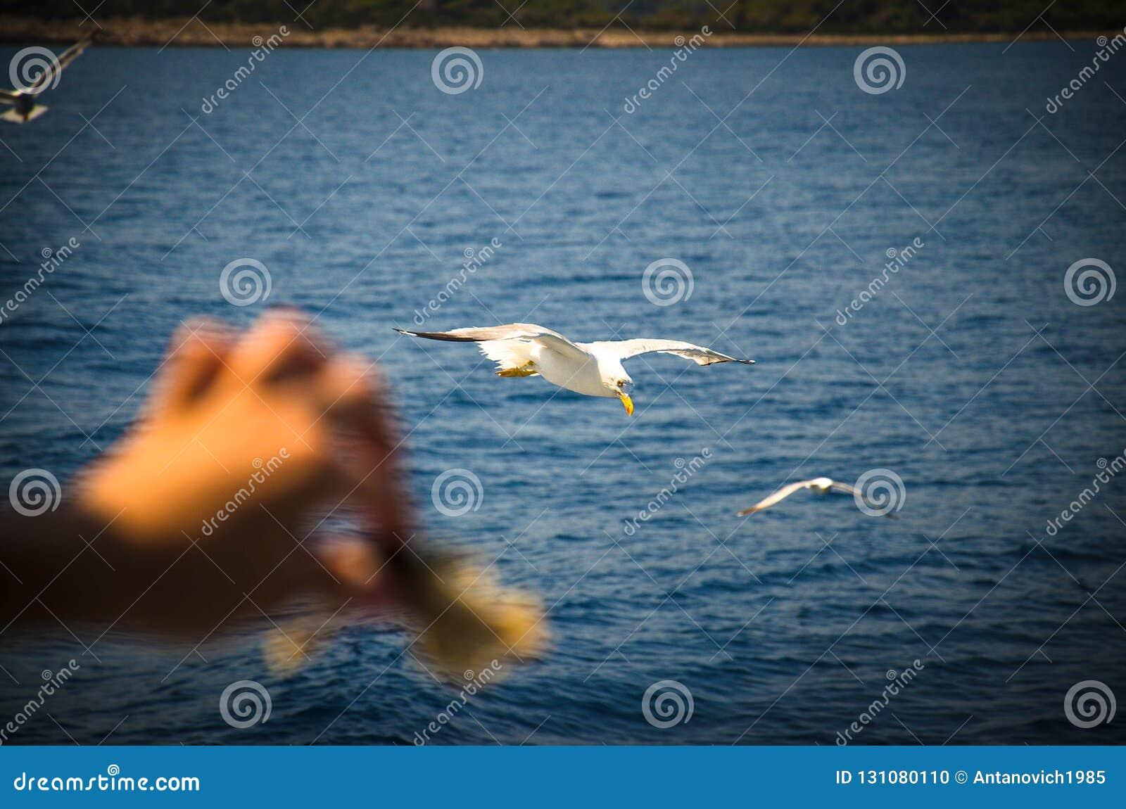 Handfeedzeemeeuwen met brood over water van Adriatische overzees, Kroatië