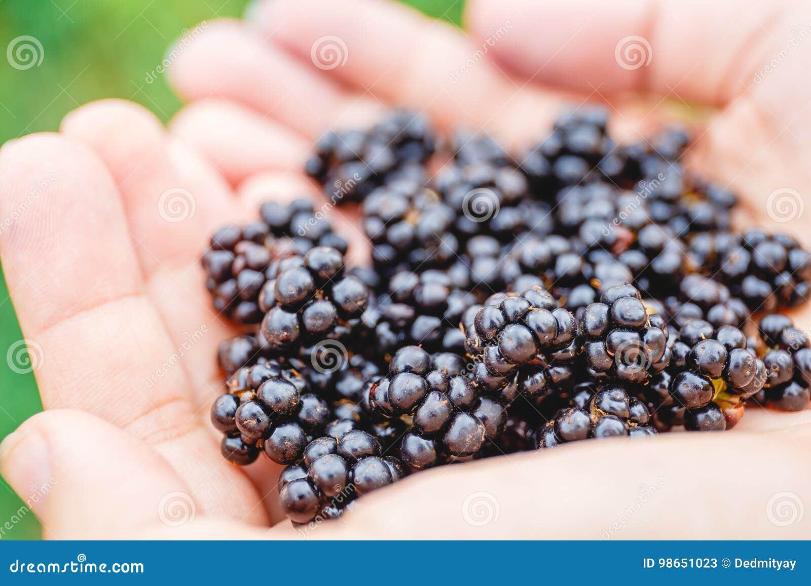 Handful of fresh blackberries in the girl`s hands
