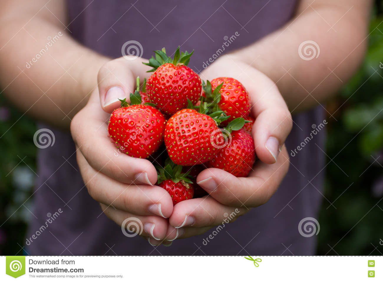 Download Handful Of Ripe Summer Strawberries Stock Photo - Image of strawberry, hands: 74550198