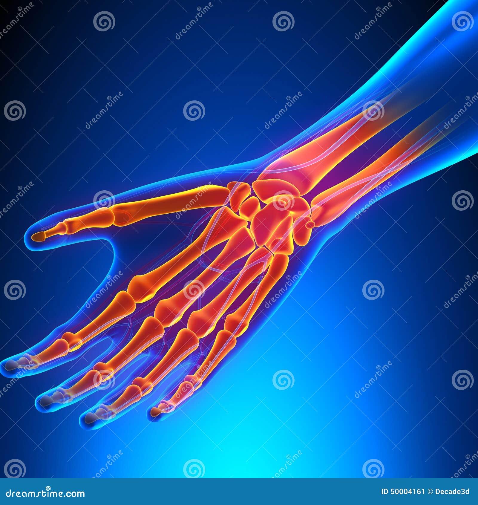 Handgelenk-Anatomie Mit Kreislaufsystem Stock Abbildung ...