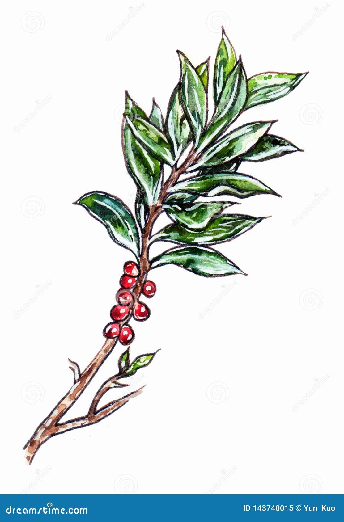 Handgezogene Niederlassung mit grünen Blättern und roten Beeren