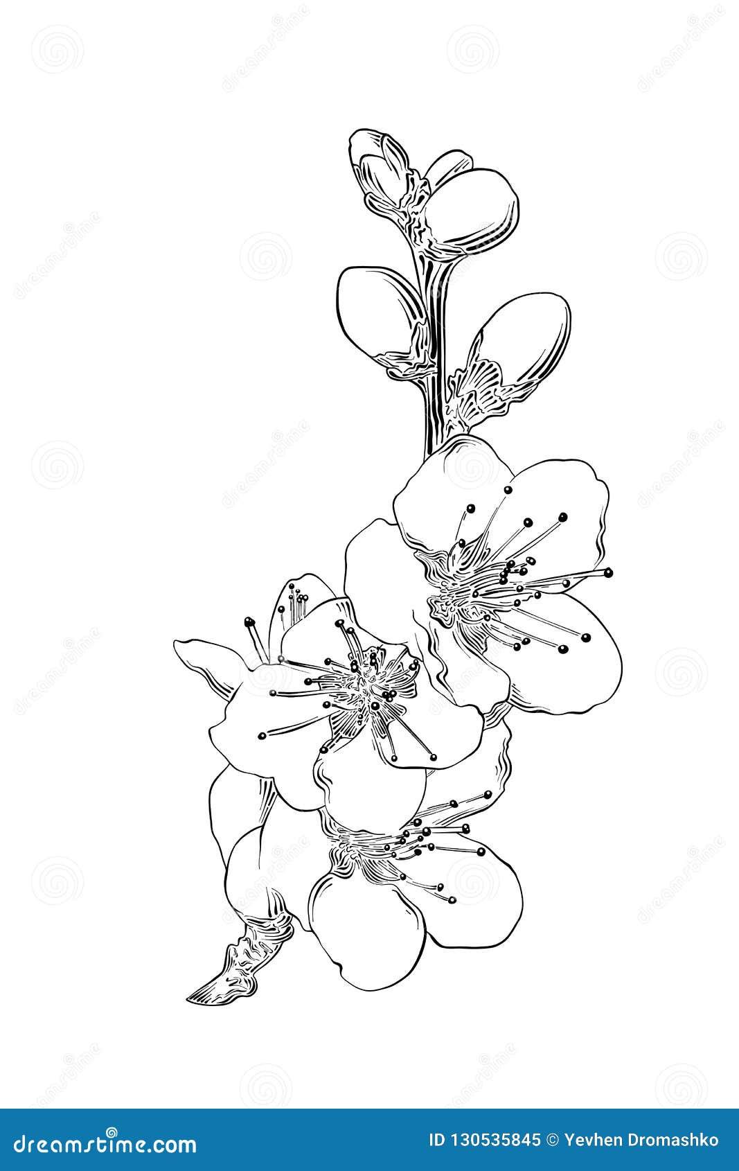 Handgezogene Skizze japanischer Kirschblüte-Blüte lokalisiert auf weißem Hintergrund Ausführliche Weinleseradierungszeichnung