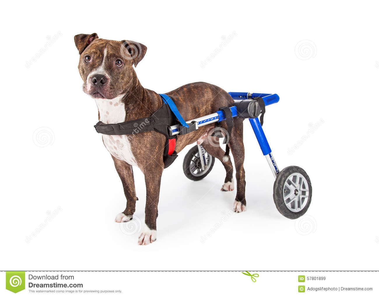 Handicapped Staffordshire Bull Terrier Dog In Wheelchair ...
