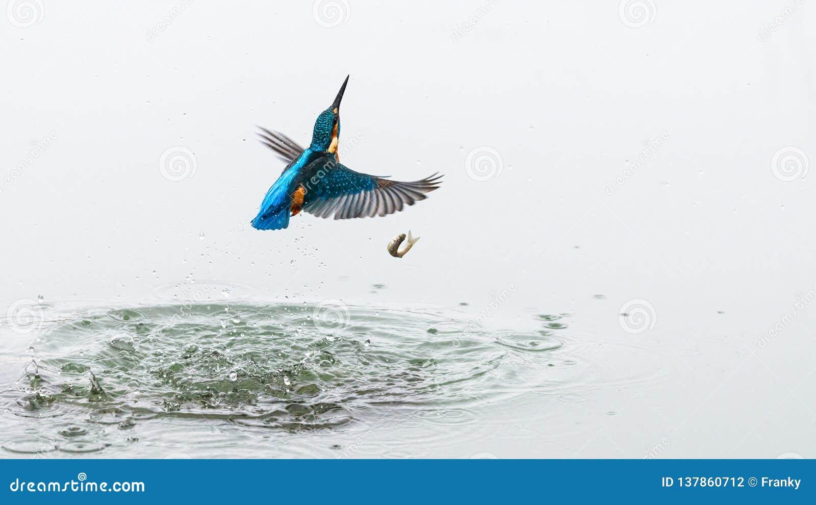 Handlingfotoet av en kungsfiskare som ut kommer från vatten efter ett lyckat fiske, men fisken, har stupat ut ur kingfisher'sna