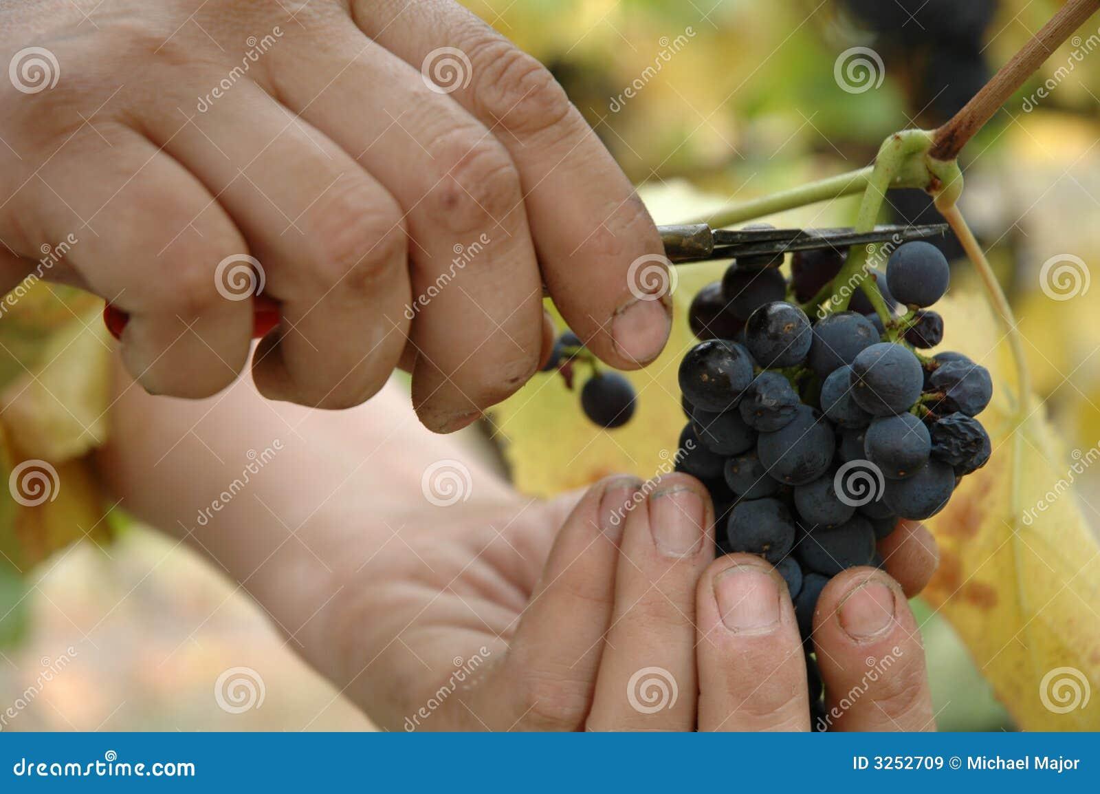 Handpicking Pinot Noir grapes