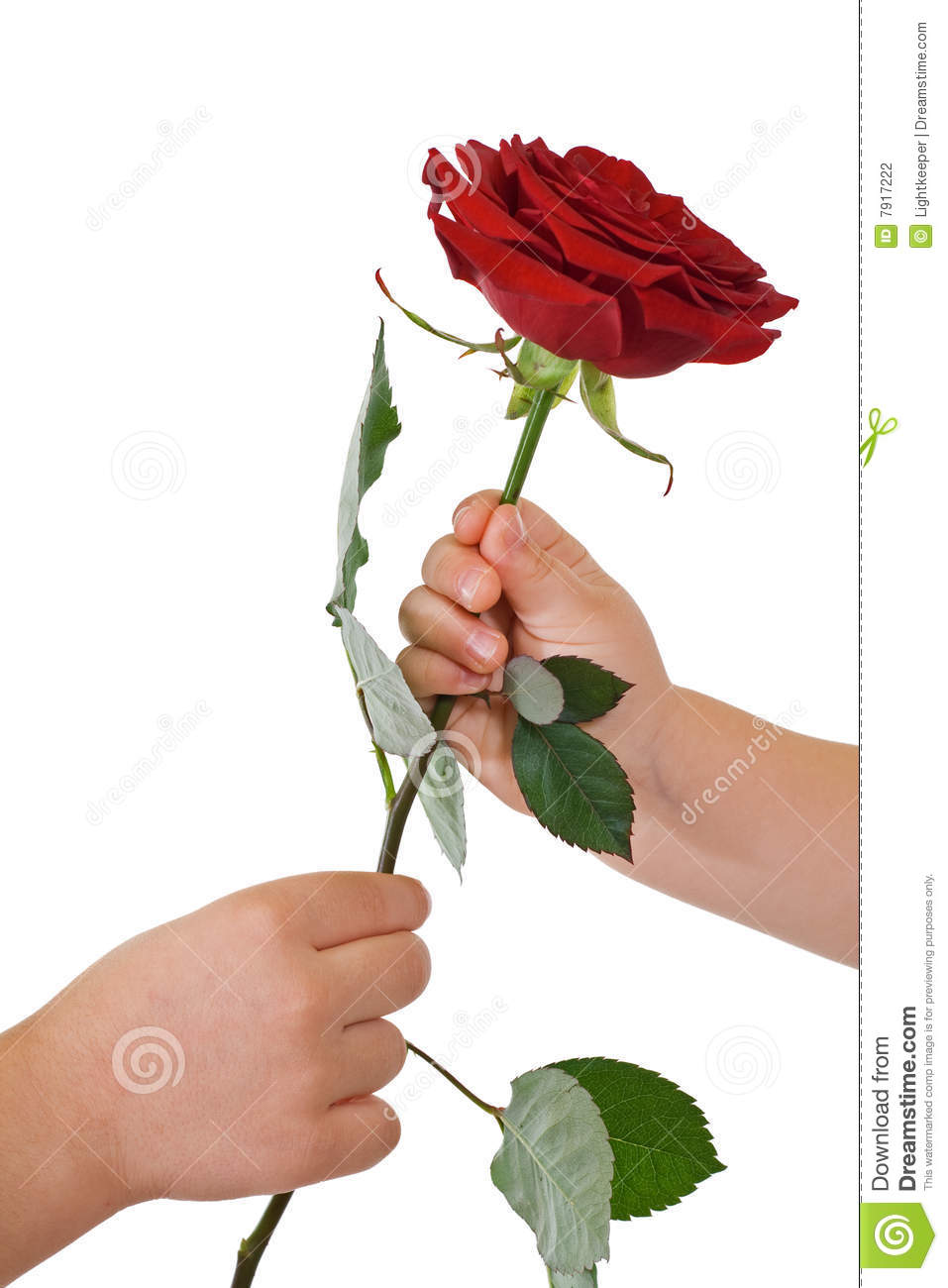 Kids hands with red rose flower - isolated.