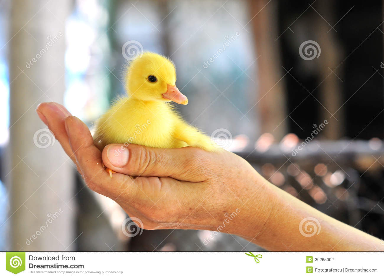 Hands holding a baby duck
