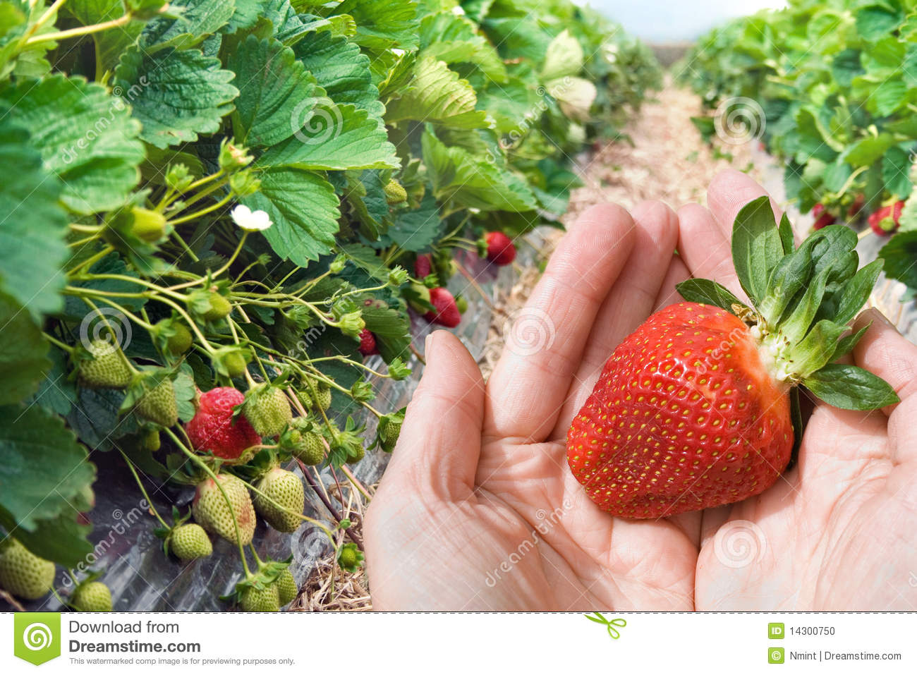 Hands with the strawberry closeup
