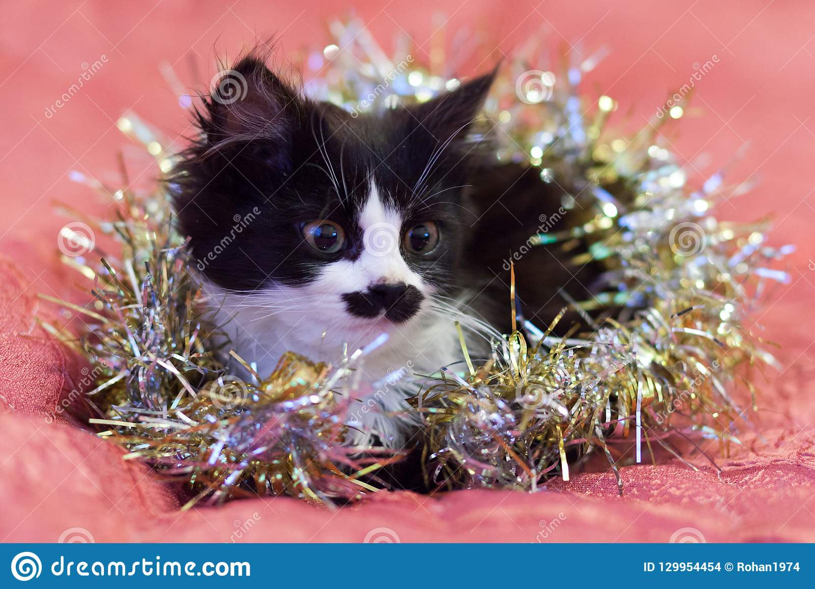 Handsome black and white cat covered in silver tinsel - a Christmas kitty. Pink background