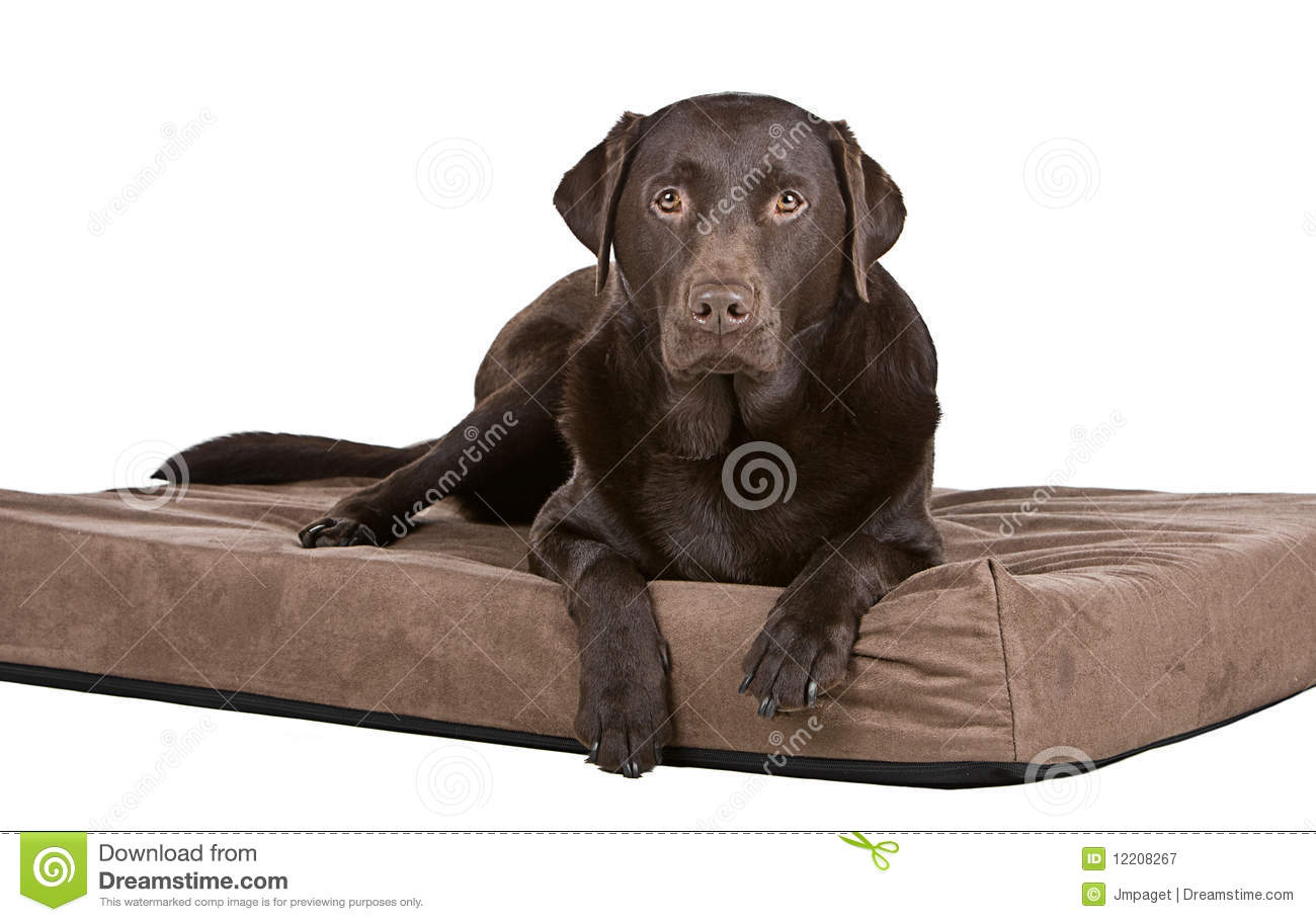 Handsome Chocolate Labrador On Bed Comfy Stock Image