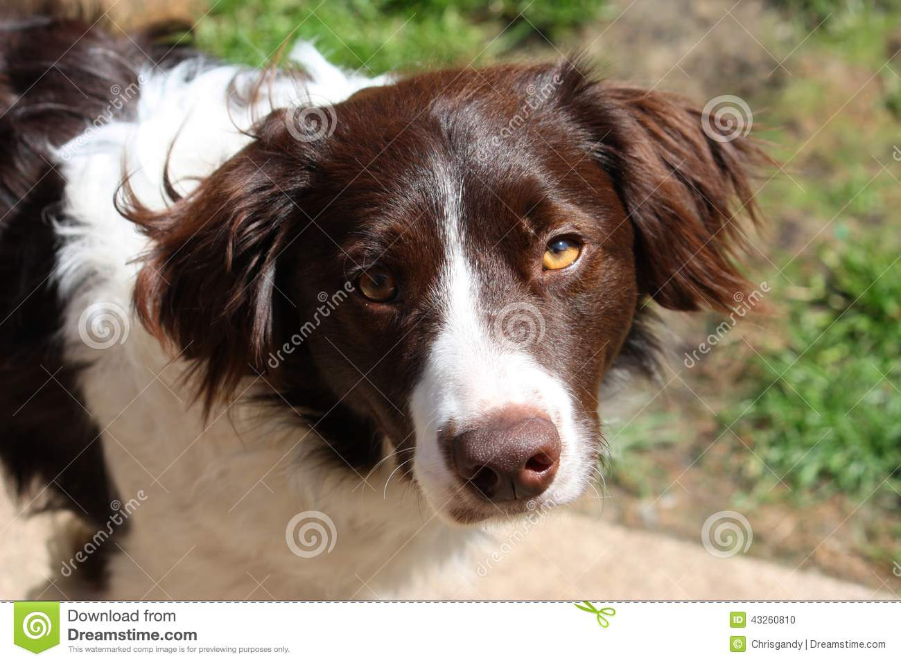 a handsome liver and white collie cross springer spaniel